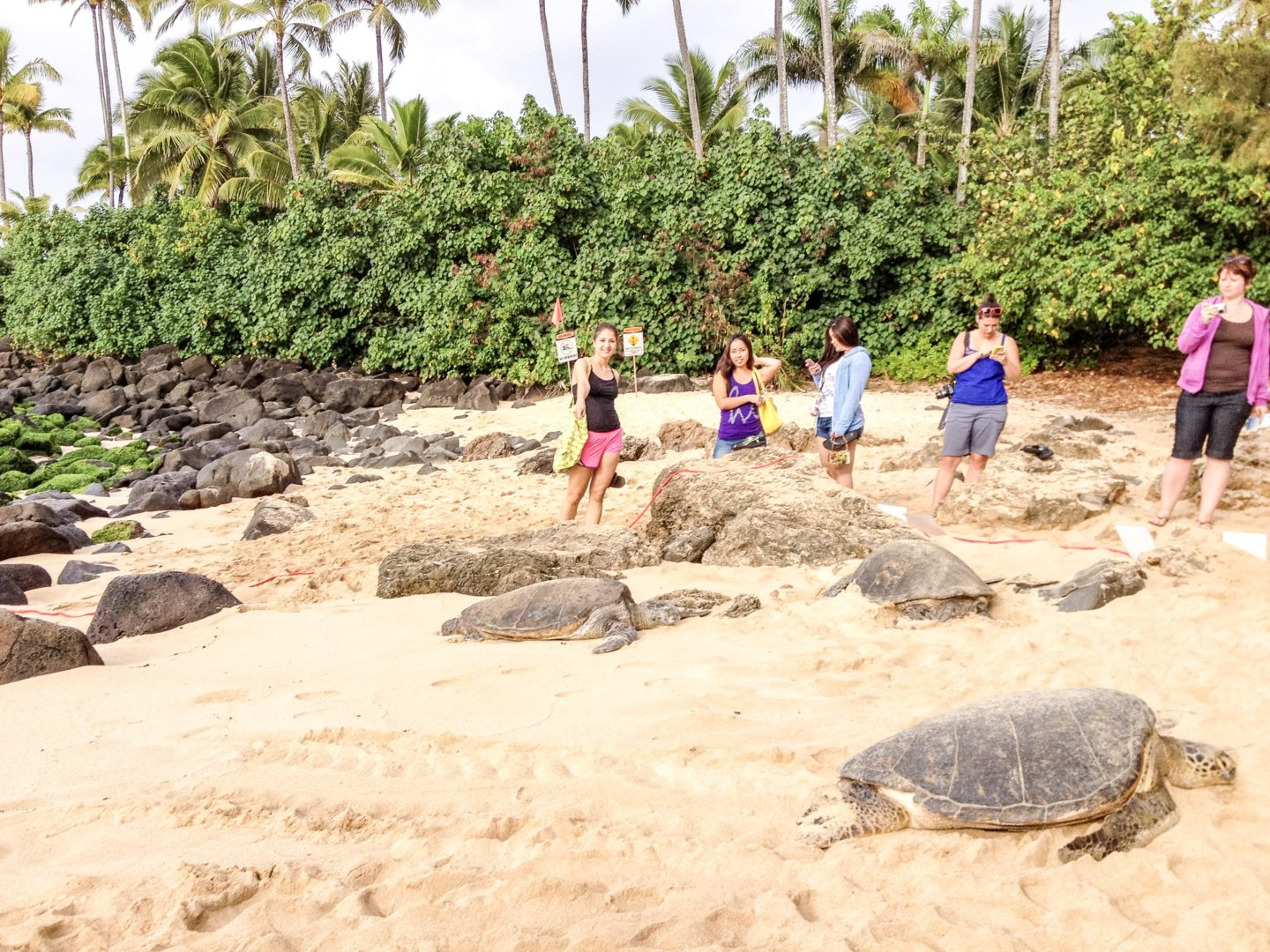 Lanikea Beach Review Beach with Turtles Oahu Fifteen Minutes to Flawless